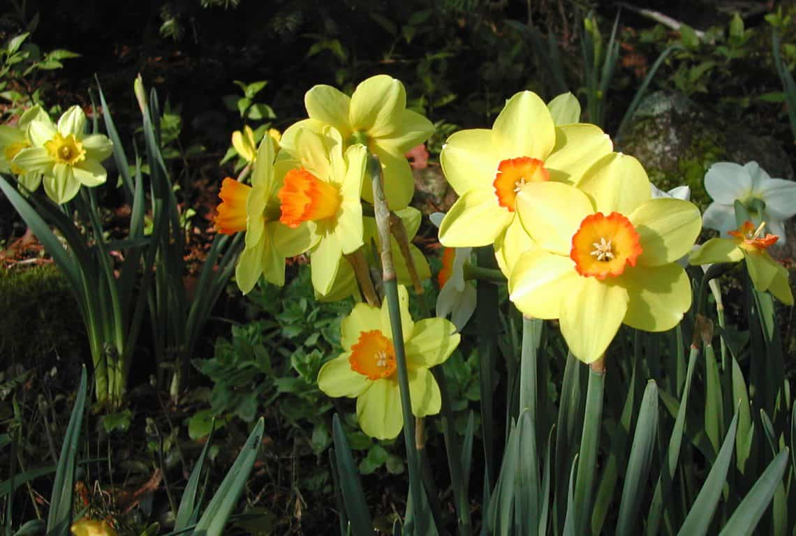 Narcissus And Daffodils