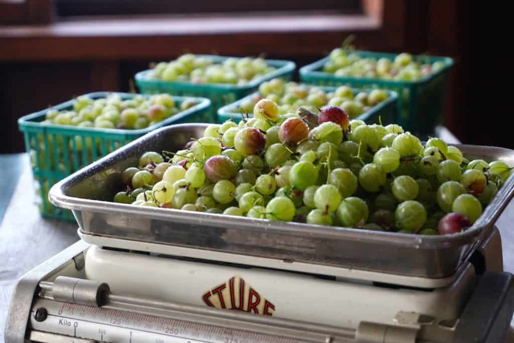 Weighing the gooseberries on an old-fashioned scale