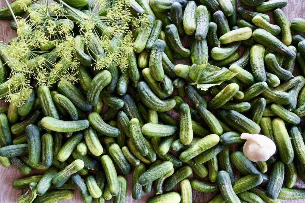 A bushel of Kirby cucumbers ready to be pickles